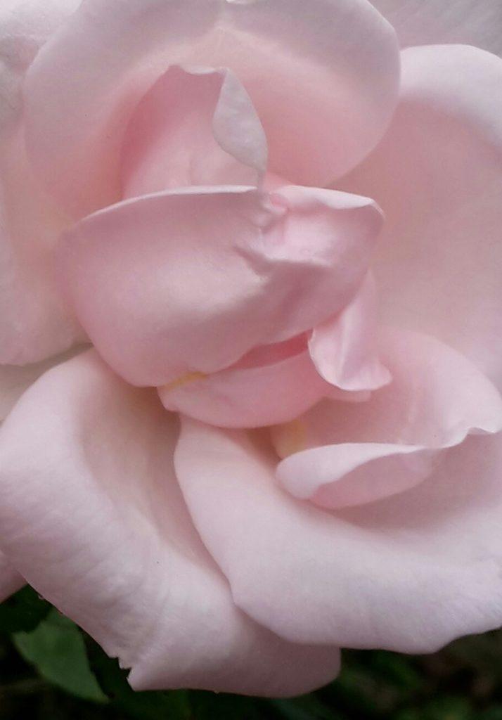 Rosarote Rose nah